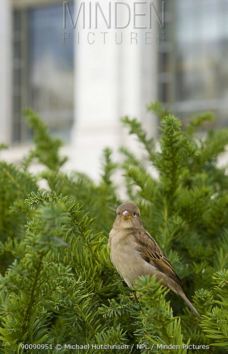 House, Common Sparrow (Passer domesticus) female perched in yew hedge outside Smithsonian Natural History Museum, Washington DC, USA  -  Michael Hutchinson/ npl