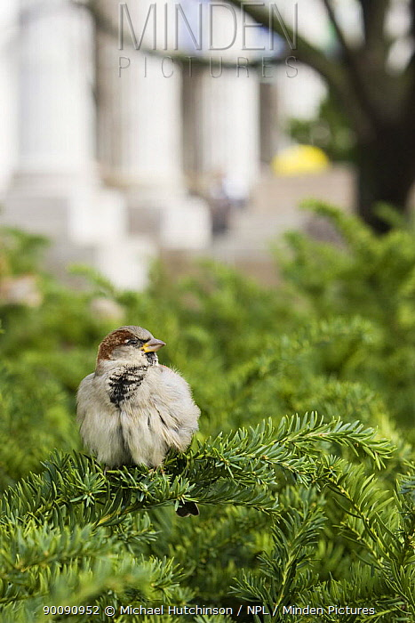 House, Common Sparrow (Passer domesticus) male perched in yew hedge outside Smithsonian Natural History Museum, Washington DC, USA  -  Michael Hutchinson/ npl