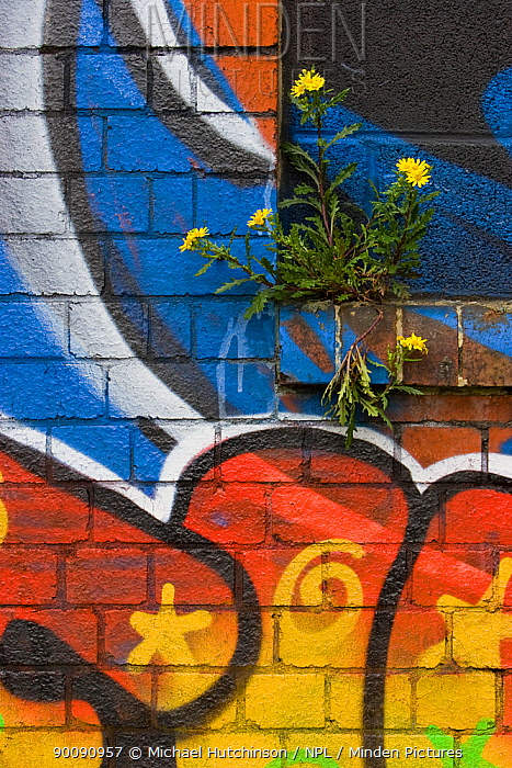 Groundsel (Senecio sp) growing out of brick wall covered in colourful graffiti, Bristol, UK  -  Michael Hutchinson/ npl
