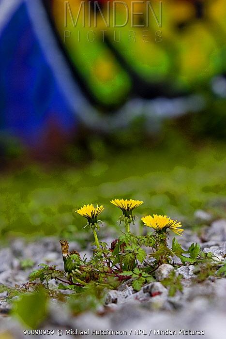 Dandelion (Taraxacum sp) growing on wasteland, derelict, graffiti-covered building in background, Bristol, UK  -  Michael Hutchinson/ npl