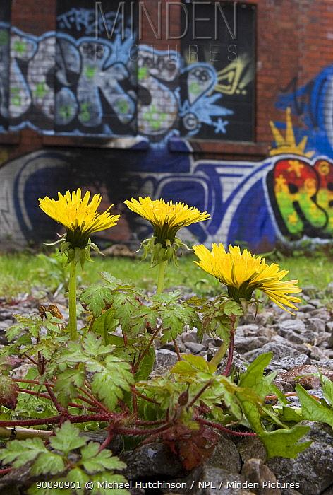 Dandelion (Taraxacum sp) growing on wasteland by derelict, graffiti-covered building, Bristol, UK  -  Michael Hutchinson/ npl