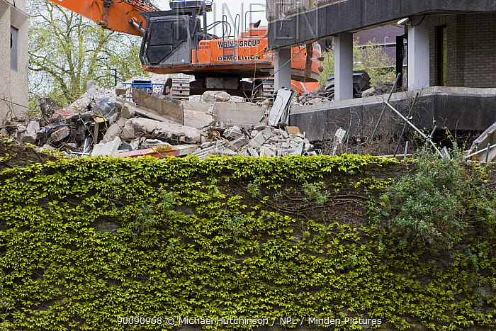 Building being demolished behind wall covered with ivy, Bristol, UK  -  Michael Hutchinson/ npl