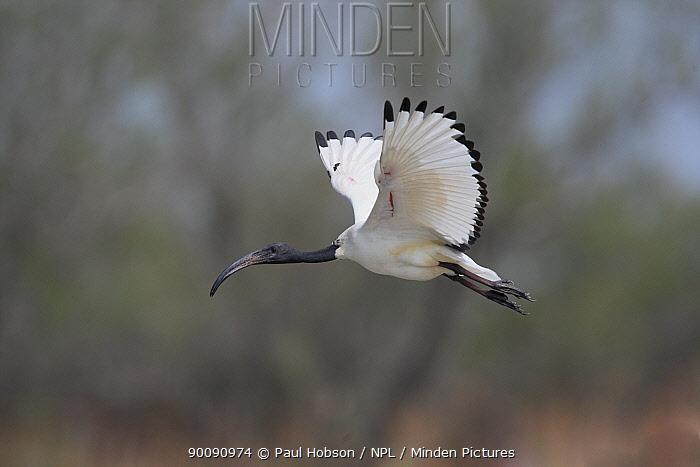 Sacred ibis (Threskiornis aethiopeaus) in flight, Camargue, France  -  Paul Hobson/ npl