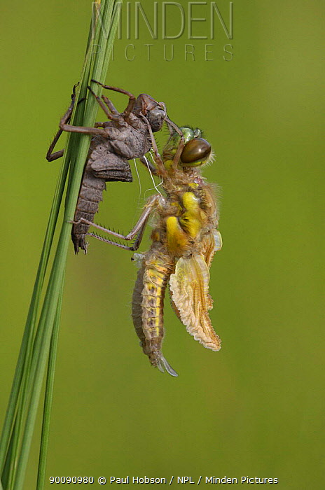Four-spotted chaser dragonfly (Libellula quadrimaculata) emerging from nymph case, Nottinghamshire, UK  -  Paul Hobson/ npl