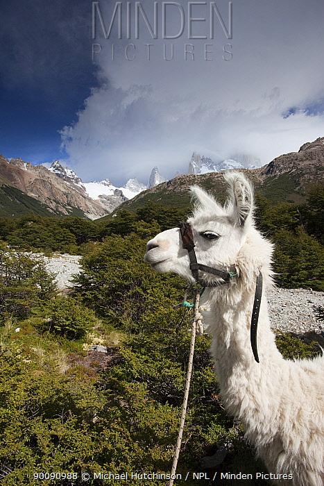 Llama (Lama glama), Los Glaciares National Park, Argentina  -  Michael Hutchinson/ npl