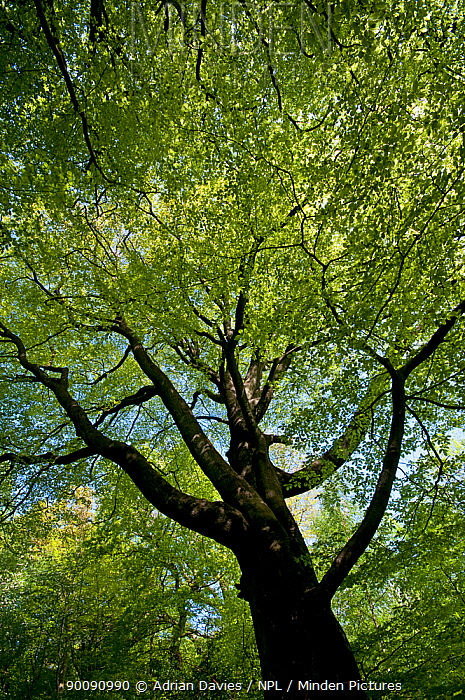 Looking up into canopy of European Beech tree (Fagus sylvatica) in spring, UK  -  Adrian Davies/ npl