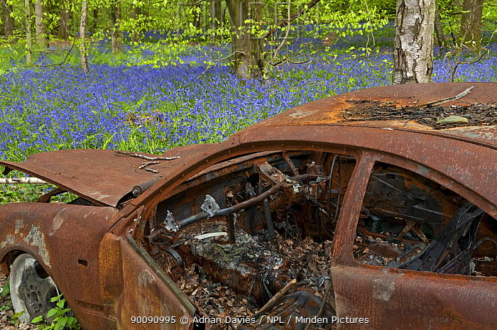 Abandoned burned out car in Bluebell Wood, Surrey, UK  -  Adrian Davies/ npl