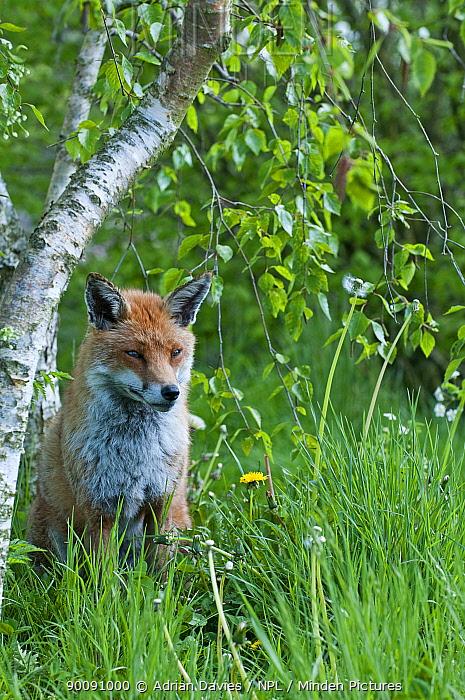 Red fox (Vulpes vulpes) in woodland in spring, UK, captive  -  Adrian Davies/ npl