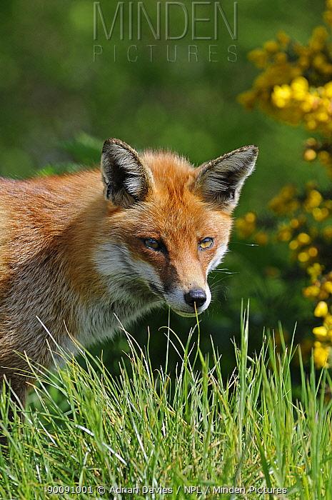 Red Fox (Vulpes vulpes) head portrait, UK, captive  -  Adrian Davies/ npl