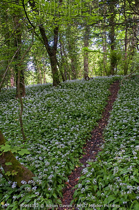 Path leading through woodland with Wild garlic, Ransom (Allium ursinum) flowering, Box Hill, Surrey, UK  -  Adrian Davies/ npl