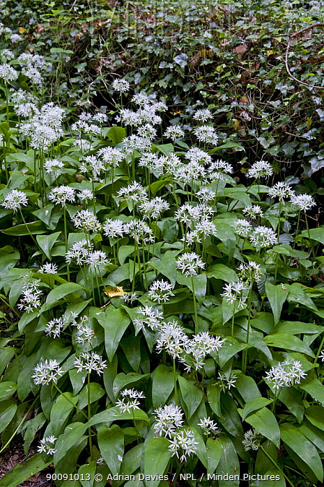 Wild garlic, Ransom (Allium ursinum) flowering in woodland, UK  -  Adrian Davies/ npl