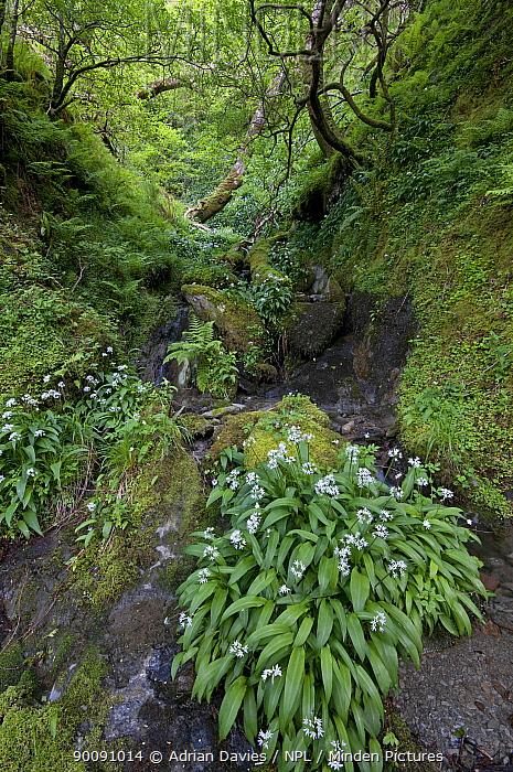 Wild garlic, Ransom (Allium ursinum) flowering beside stream, Snowdonia, Wales, UK  -  Adrian Davies/ npl