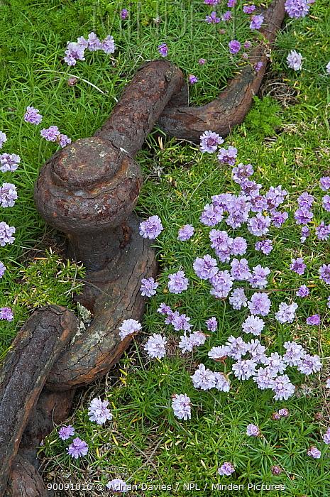 Thrift (Armeria maritima) flowering beside rusty chain, South Stack, Anglesey, Wales, UK  -  Adrian Davies/ npl