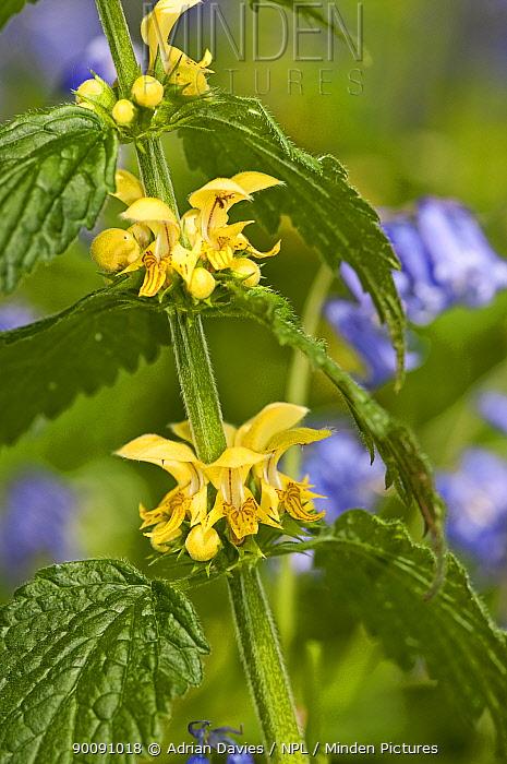 Yellow archangel (Lamiastrum galeobdolon) UK  -  Adrian Davies/ npl