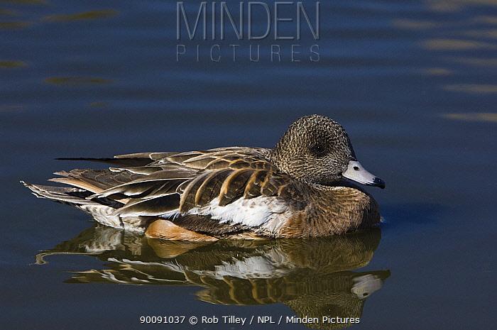 American Wigeon (Anas americana) Female on water, Socorro, New Mexico, USA  -  Rob Tilley/ npl