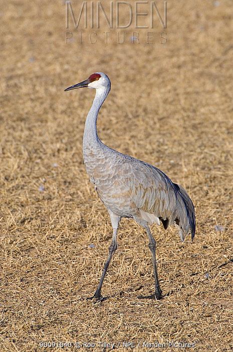 Sandhill Crane (Grus canadensis) Bosque Del Apache NWR, New Mexico, USA  -  Rob Tilley/ npl