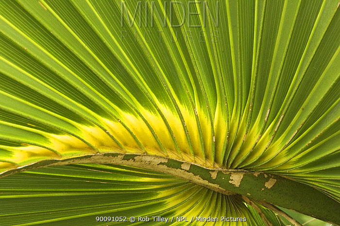 Detail of leaf of Cabbage Palmetto (Sabal palmetto) Sanibel Island, Florida, USA  -  Rob Tilley/ npl