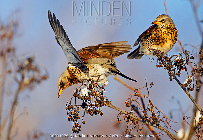 Two Fieldfare (Turdus pilaris) on berries, one with wings outstretched Helsinki, Finland, January  -  Markus Varesvuo/ npl