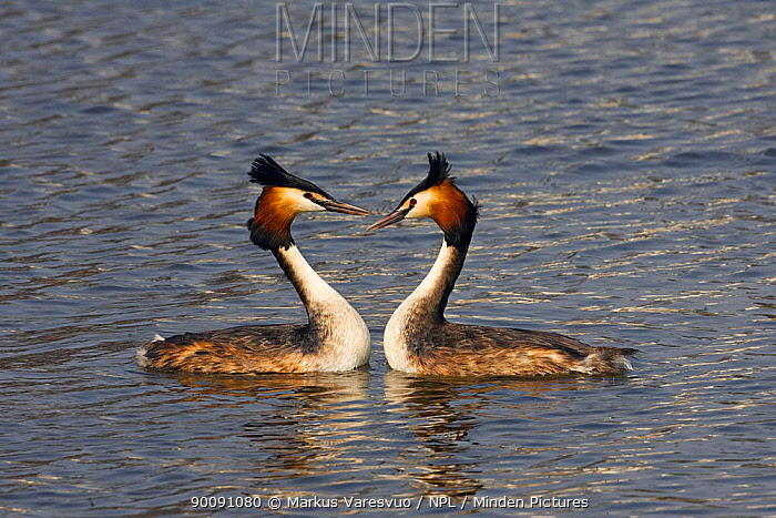 Two Great crested grebes (Podiceps cristatus) on water, Helsinki, Finland, April  -  Markus Varesvuo/ npl