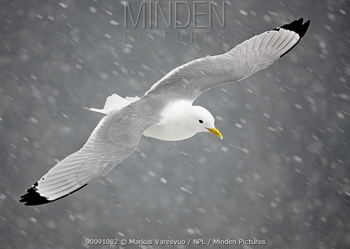 Kittiwake (Rissa tridactylus) flying in snow, Norway, April  -  Markus Varesvuo/ npl