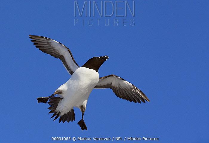 Razorbill (Alca torda) in flight, Norway, April  -  Markus Varesvuo/ npl