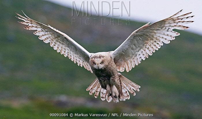 Snowy owl (Bubo scandiaca) in flight, Utsjoki, Finland, July  -  Markus Varesvuo/ npl