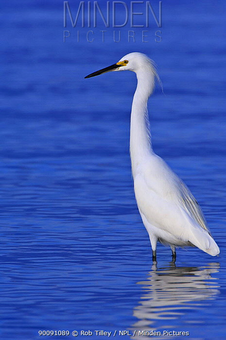 Snowy Egret (Egretta thula) wading in water, Fort Myers Beach, Florida, USA  -  Rob Tilley/ npl