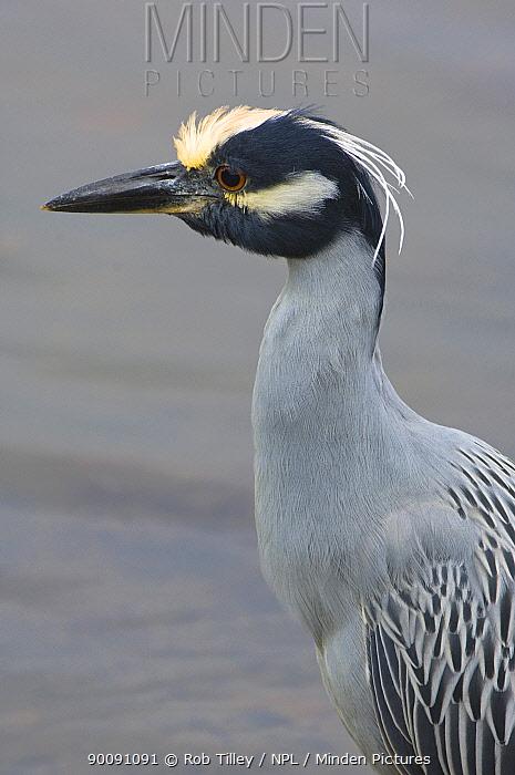 Yellow-Crowned Night Heron (Nycticorax violaceus) Sanibel Island, Florida, USA  -  Rob Tilley/ npl