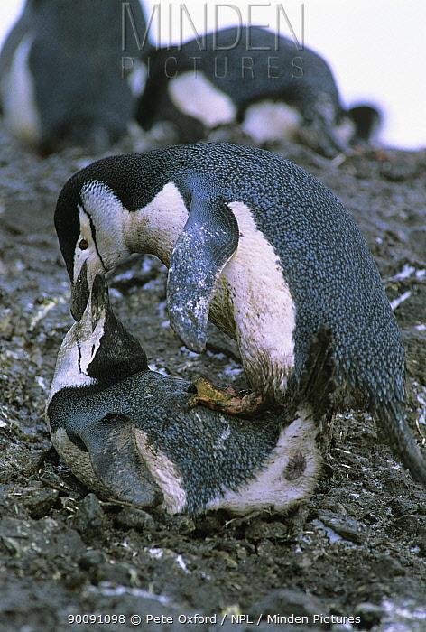 Chinstrap penguins (Pygoscelis antarctica) mating pair, Antarctica  -  Pete Oxford/ npl