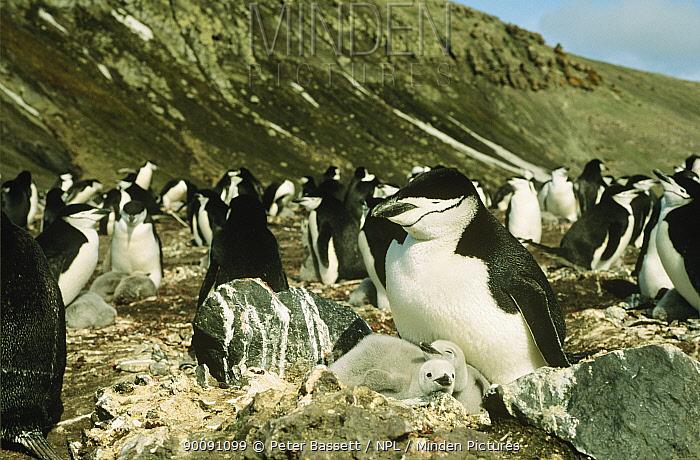 Nesting colony of Chinstrap penguin (Pygoscelis antarcticus) and chicks, Bailey Head Colony, Deception Is, Antarctica  -  Peter Bassett/ npl