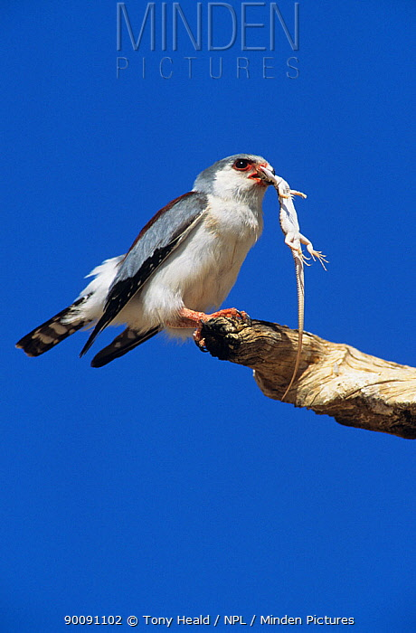 African pygmy falcon (Polihierax semitorquatus) perched with lizard prey, Kalahari Gemsbok, Kgalagadi Transfrontier NP, South Africa  -  Tony Heald/ npl
