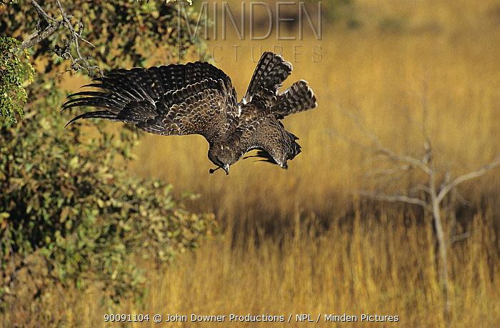 Martial eagle (Polemaetus bellicosus) swooping down on prey, Zimbabwe, captive  -  John Downer/ npl
