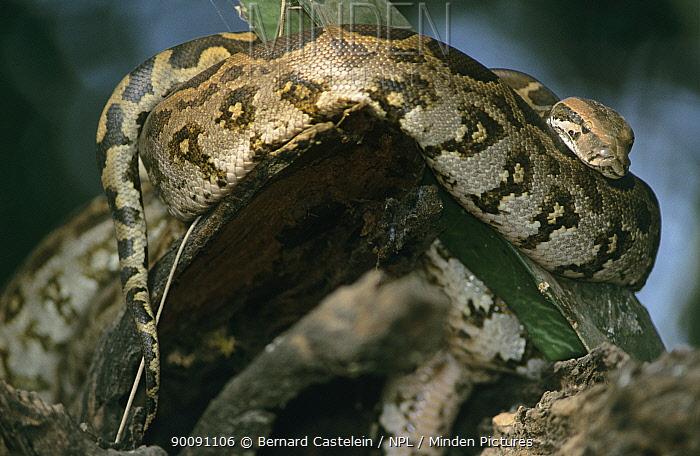 Indian python (Python molurus) coiled, Bharatpur, Keoladeo Ghana NP, India  -  Bernard Castelein/ npl