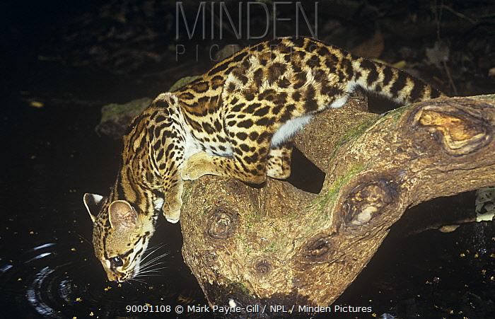 Margay (Felis wiedi) stretching down to drink, Panama, wild but habituated  -  Mark Payne-Gill/ npl