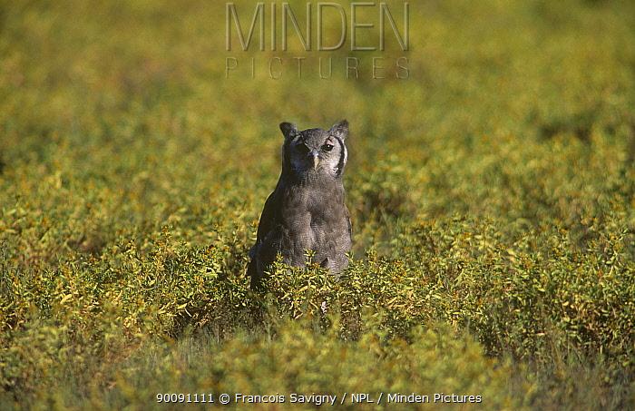 Giant eagle owl (Bubo lacteus) on ground, Kalahari Gemsbok, Kgalagadi Transfrontier NP, South Africa  -  Francois Savigny/ npl