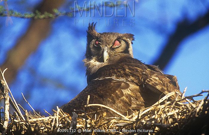 Gaint eagle owl (Bubo lacteus) on nest with nictating membrane covering eye, Baringo NP, Kenya  -  Mike Wilkes/ npl