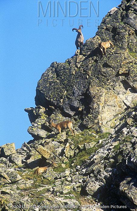 Group of West caucasian tur, goat (Capra caucasica) on rocky cliff, Teberdinskii Nature Reserve, Karachaevo, Cherkessiya, Russia  -  Konstantin Mikhailov/ npl