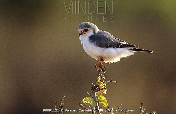 Pygmy falcon (Polihierax semitorquatus) perched, Samburu GR, Kenya  -  Bernard Castelein/ npl