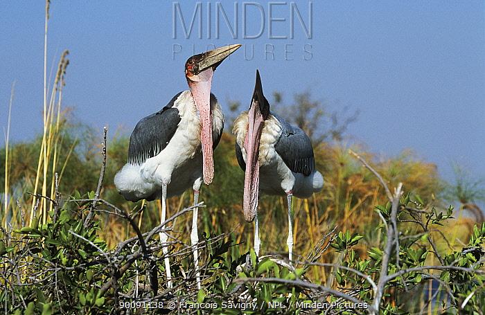 Marabou storks (Leptoptilus crumeniferus) courtship display, Moremi NP, Botswana  -  Francois Savigny/ npl