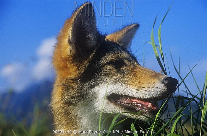 Coyote Canis latrans) head portrait, British Columbia, Canada Captive  -  Mark Payne-Gill/ npl