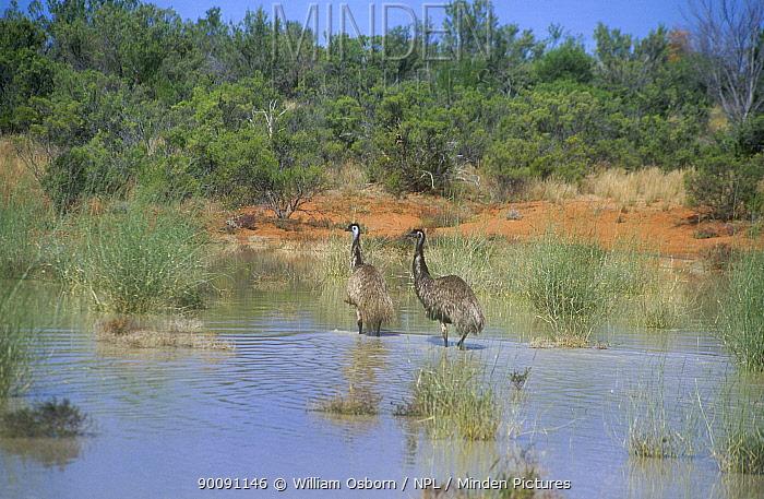 Emu (Dromaius novaehollandiae) pair wading through water, Lake Bindegolly NP, Queensland, Australia  -  William Osborn/ npl