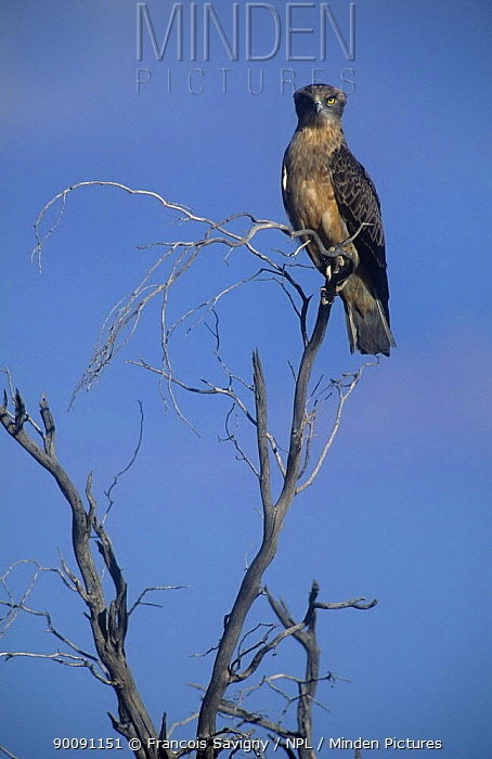 Brown snake eagle (Circaetus cinereus) perched, Kalahari Gemsbok NP, Kgalagadi Transfrontier Park, South Africa  -  Francois Savigny/ npl