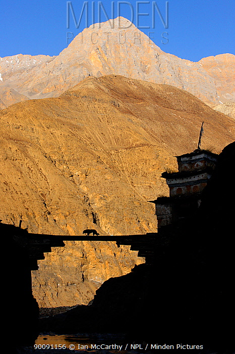 Silhouette of mastiff dog crossing a bridge with Himalayas in the background, Upper Dolpo, Nepal  -  Ian Mccarthy/ npl