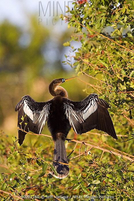 American darter (Anhinga anhinga) perched, drying wings in sunshine, Florida, USA, March  -  Jeff Vanuga/ npl
