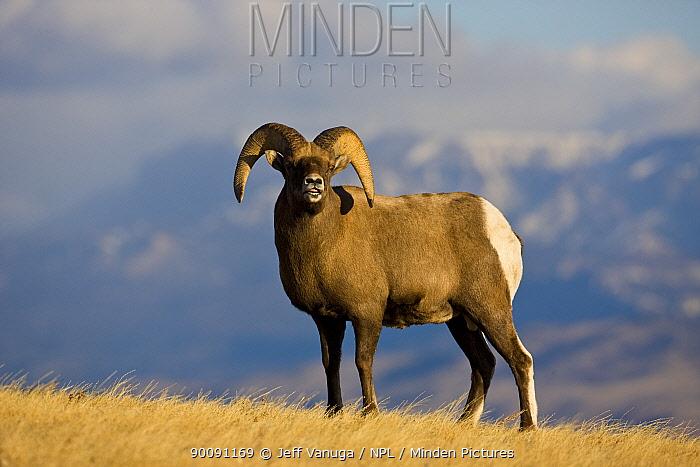 Rocky Mountain Bighorn Sheep (Ovis canadensis) ram, Whiskey Basin, near Dubois, Wyoming, USA, November  -  Jeff Vanuga/ npl