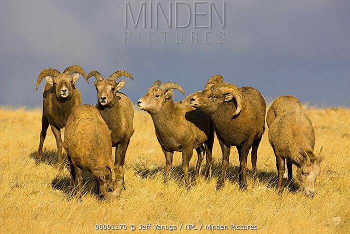 Rocky Mountain Bighorn Sheep (Ovis canadensis) rams testing the air around a female, flehmen behaviour, Whiskey Basin, near Dubois, Wyoming, USA, November  -  Jeff Vanuga/ npl
