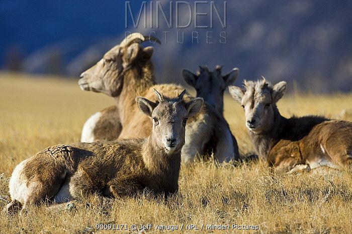Rocky Mountain Bighorn Sheep (Ovis canadensis) ewes and lambs, Whiskey Basin, near Dubois, Wyoming, USA, November  -  Jeff Vanuga/ npl