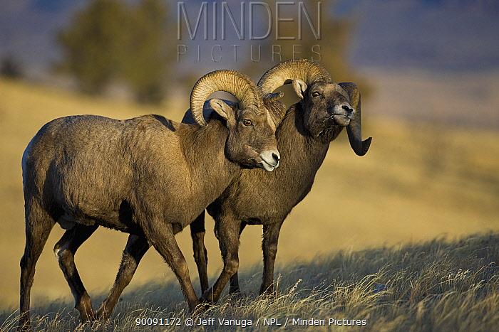 Rocky Mountain Bighorn Sheep (Ovis canadensis) rams exhibiting dominance behaviour, Whiskey Basin, near Dubois, Wyoming, USA, November  -  Jeff Vanuga/ npl