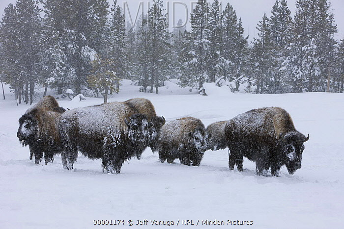 Group of Bison (Bison bison) in snow, Upper Geyser Basin, Yellowstone National Park, Wyoming, USA, January 2008  -  Jeff Vanuga/ npl