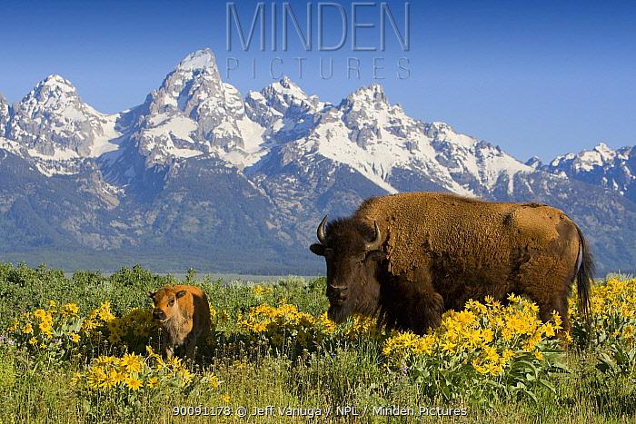 Bison (Bison bison) cow and calf amongst flowering Arrowroot balsamroot (Balsamorhiza sagittata) with the Teton mountains in the background, Grand Teton National Park, Wyoming, USA, June 2008  -  Jeff Vanuga/ npl